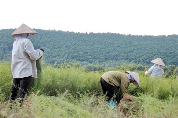 Người dân cắt rễ trên cánh đồng - Ảnh: Phương Huệ