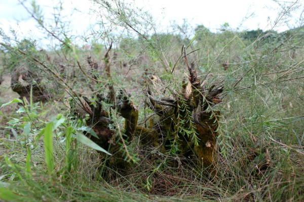Gốc cây nhỏ con nhưng mốc meo qua thời gian với lớp rêu phong - Ảnh: Phương Huệ