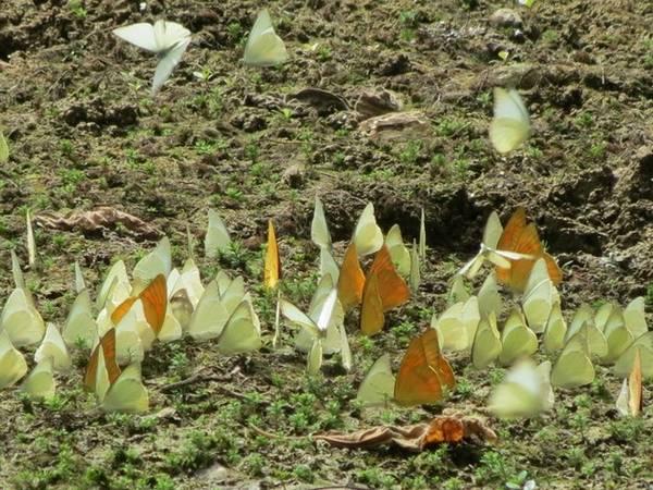 Bướm rừng Cúc Phương đặc biệt nhiều vào cuối xuân, đầu hè, khi mọi thứ như bừng tỉnh sau một giấc ngủ dài qua mùa đông - xuân lạnh lẽo. Loài bướm phổ biến nhất ở đây là bướm trắng. Bên cạnh đó, bướm khế, bướm phượng và một thế giới đầy màu sắc của các loài bướm khác khiến bức tranh Cúc Phương trở nên lung linh huyền ảo. Ảnh: Kim Kim.