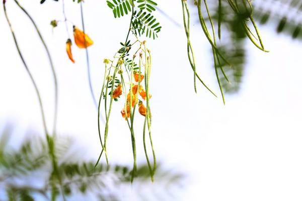 Hái bông điên điển: Mùa nước nổi, khắp ven sông, kênh, rạch, ruộng lúa của miền Tây đều xuất hiện màu vàng của hoa điên điển. Chỉ sau khoảng 5-10 phút là có món ngon. Ảnh: An Huỳnh.