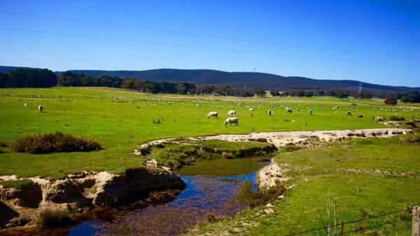 Suốt dọc hành trình từ Sydney đi Canberra là những thảm cỏ xanh rờn. Từng đàn cừu, bò hoặc ngựa nhởn nhơ gặm cỏ, phơi nắng và yêu nhau - Ảnh: N.N.Tuấn