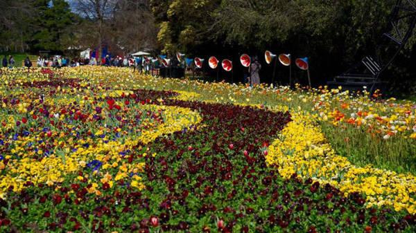 """Những """"suối hoa"""" đầy màu sắc khoe mình trong nắng xuân - Ảnh: N.N.Tuấn"""