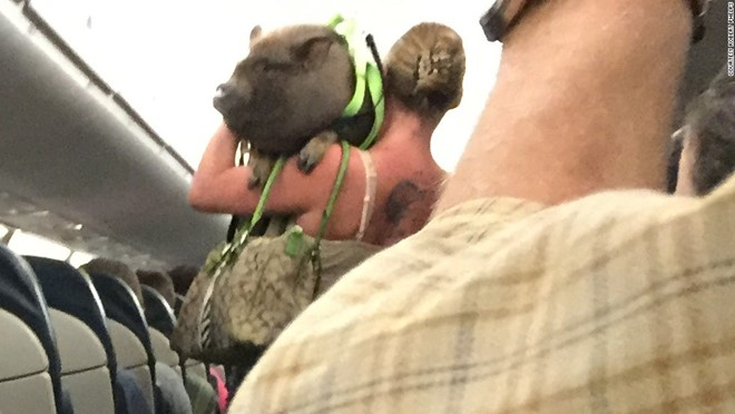 Bringing pigs on board is not a good idea.  Photo: CNN.