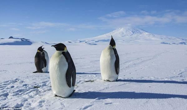 Điều mà Anthony ngạc nhiên nhất về Nam Cực là diện tích khổng lồ. Ông mới chỉ khám phá được một phần của khu vực sau 15 năm. Đây là bức ảnh chụp những vị vua vùng này - chim cánh cụt.