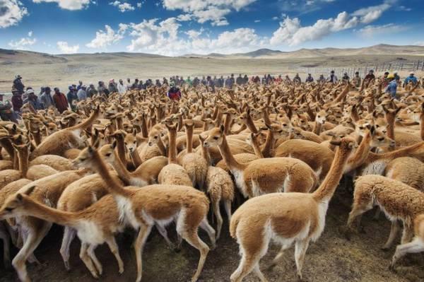 Cánh đồng lạc đà Vicuna ở miền nam Peru - Ảnh: National Geographic