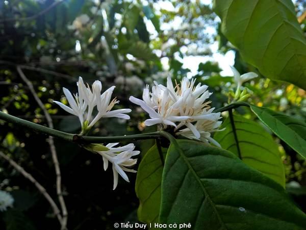 Những ngày cuối năm, hoa cà phê cũng bắt đầu chớm nở trên mọi ngả đường. Chỉ cần ra ngoại thành một chút là bạn có thể ngửi thấy mùi hoa cà phê phảng phất khắp nơi. Hoa cà phê khi bung nở đồng loạt sẽ tạo ra một khung cảnh vô cùng đẹp mắt. Bạn sẽ được bồng bềnh trên những đám mây hoa trắng muốt, tinh khôi. Đó là lúc đất trời Tây Nguyên vào những ngày đẹp nhất
