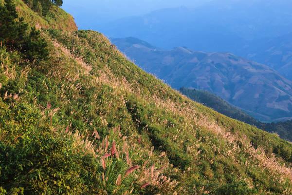 Đường đi lên Tà Xùa tương đối quanh co, khúc khuỷu, nhưng bù lại phong cảnh vô cùng đẹp. Vào mùa lau, triền đồi tràn ngập những bông lau trắng muốt lung linh trong nắng.