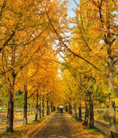 Ngân hạnh là một trong những loại cây thay lá nhiều nhất vào mùa thu, và cũng là loại cây được trồng khá phổ biến ở xứ sở kim chi. Mỗi năm, cứ độ cuối tháng 10, đầu tháng 11, những hàng cây ngân hạnh trên khắp Hàn Quốc ngả vàng đồng loạt, mang tới cảnh tượng lãng mạn.