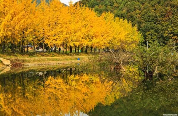 Con đường ngân hạnh ven hồ chứa nước Mungwang, huyện Gwesan, tỉnh Bắc Chungcheong là một trong những nơi check in nổi tiếng với giới trẻ Hàn Quốc khi mà con đường hai hàng cây ở đảo Nami đã bị quá tải.