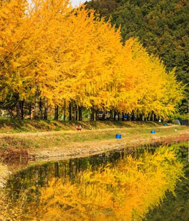 Hàng cây được trồng tự nhiên, soi mình xuống nước hồ càng khiến màu vàng thêm rực rỡ.