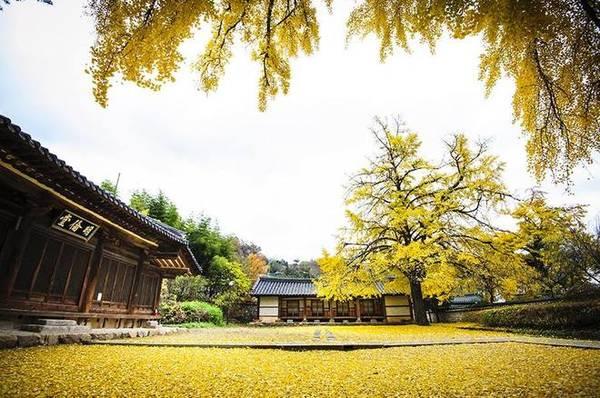 Thành phố Jeonju lại gây ấn tượng bởi những cây ngân hạnh nhiều năm tuổi, nằm nép mình bên mái nhà cổ thâm nghiêm.