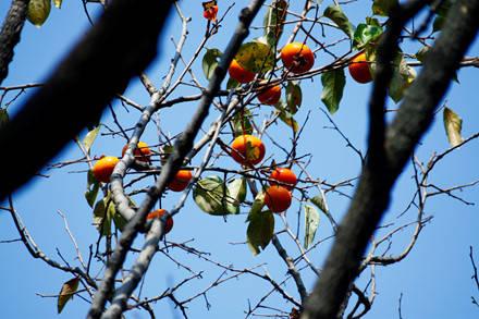 Mùa thu cũng là mùa của những trái hồng chín đỏ trong vườn