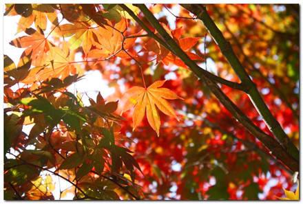 Sắc đỏ của những chiếc lá phong mong manh.