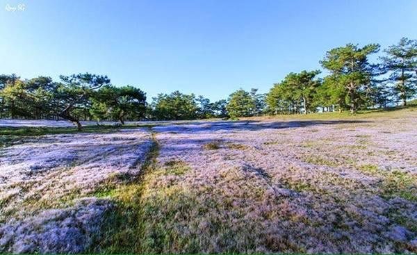 Cỏ hồng là loại hoa dại, mọc nhiều trên các đồi ở Đà Lạt. Khu vực Thung Lũng Vàng là nơi có nhiều cỏ hồng, tạo cảnh sắc rực rỡ thu hút du khách.