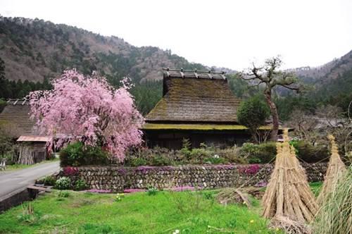 Ngôi nhà cổ xưa có hoa anh đào trước ngõ