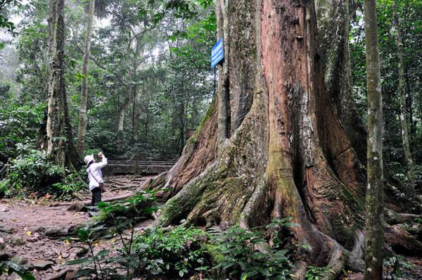 Cây chò ngàn năm ở Vườn quốc gia Cúc Phương - Ảnh: Trần Thế Dũng