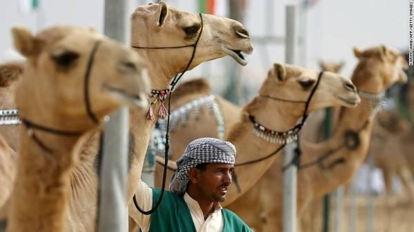 10. Chợ lạc đà Al Ain: Cách ốc đảo không xa là chợ lạc đà Al Ain. Du khách có thể đi xung quanh để tham quan, nhìn ngắm hoặc thậm chí là vuốt ve những con vật.