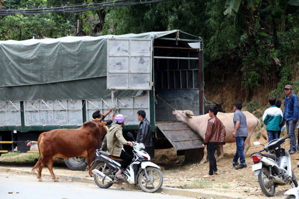 Đưa trâu bò về xuôi - Ảnh: Giang Nguyên