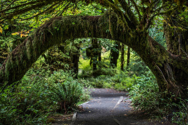 Mái vòm tự nhiên trong rừng mưa Hoh - Ảnh: photoshelter.com