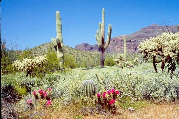 Mùa hoa xương rồng ở Saguaro diễn ra từ tháng tư đến tháng sáu - Ảnh: astroshow.com