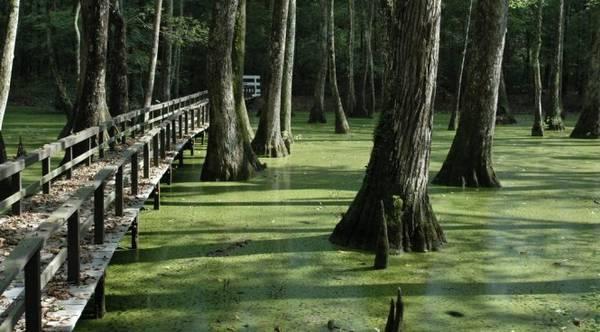 Một lối đi xuyên rừng bayou - Ảnh: panoramio
