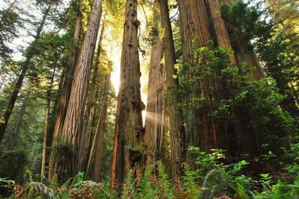 Một góc rừng Redwood - Ảnh: wp