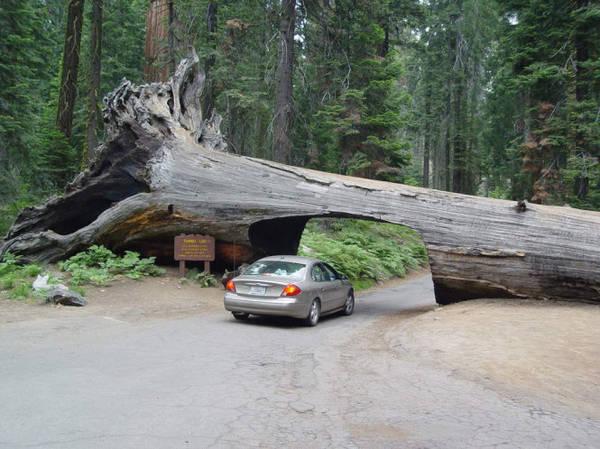 Độc đáo xuyên rừng Sequoia - Ảnh: wp