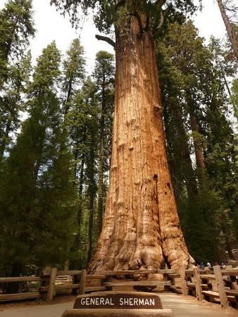 Cây cù tùng General Sherman ở công viên quốc gia Yosemite được xem là cây vĩ đại nhất thế giới - Ảnh: wp
