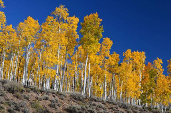 Cụm Pando ở bang Utah- Ảnh: wp