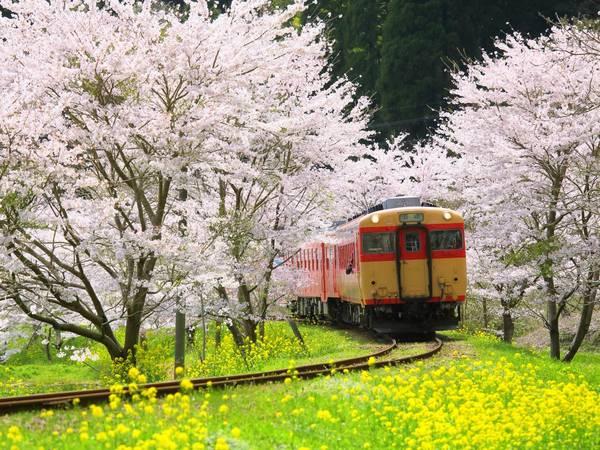 Vào tháng 4, Kyoto là một trong những nơi cho mùa hoa anh đào đẹp nhất. - Ảnh: Shige.H / Shutterstock