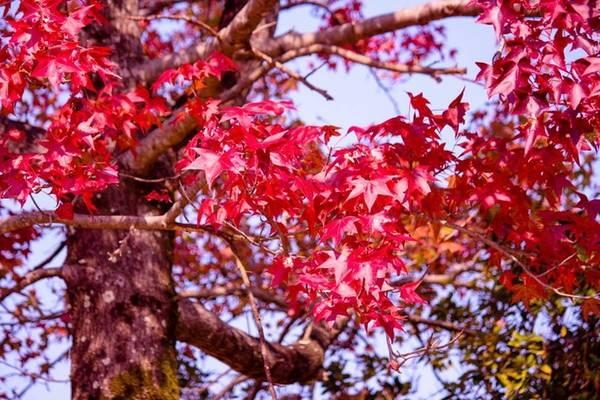 Mùa thu Nhật Bản bắt đầu từ đầu tháng 10 và kéo dài đến cuối tháng 11. Màu xanh của lá bắt đầu chuyển sắc từ hòn đảo Hokkaido và lan dần xuống phía nam hòn đảo Kyushu.