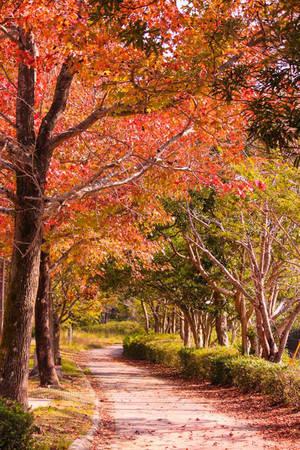 Tùy vào tuổi thọ của cây mà lá phong sẽ chuyển sắc vàng hay đỏ theo thời gian sớm hay muộn. Với những cây lớn tuổi lá sẽ chuyển màu nhanh hơn. Trong khoảng một tuần, du khách sẽ chợt thấy màu sắc của lá phong chuyển từ vàng sang đỏ ngập tràn, trông rất quyến rũ.