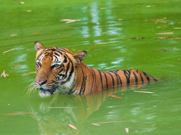 Công viên quốc gia Ranthambore, Ấn Độ: Mất 3 giờ xe chạy từ Jaipur, công viên quốc gia Ranthambore hút các nhiếp ảnh gia từ khắp nơi trên thế giới nhờ những chú hổ và phong cảnh tuyệt đẹp cùng các di tích cổ đại. Theo National Geographic, Ấn Độ là nơi có 2/3 lượng hổ của thế giới. Ảnh: yuliang11/ iStock.