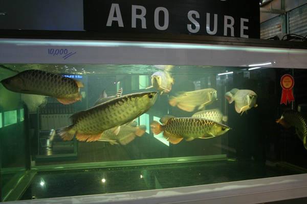 Người Thái nổi tiếng với truyền thống chơi cá cảnh và tài nhân giống, phối giống nhiều loại từ loài cá rồng vốn chỉ có màu nâu từ thuở sơ khai, nay chúng phong phú về hình dáng, màu sắc. Ảnh: PALHS.