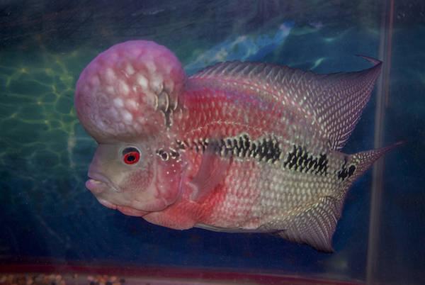 Một loài cá nổi tiếng tại chợ Chatuchak là cá la hán. Chúng vốn là giống cá lai tạo, với chiếc đầu gù nổi bật, vảy sặc sỡ. Người ta cho rằng những con cá có đầu gù càng lớn và màu sắc càng rực rỡ sẽ đem lại phú quý cho gia chủ, chúng được giới doanh nhân trưng bày tại văn phòng. Ảnh: Mike Tuccinardi.