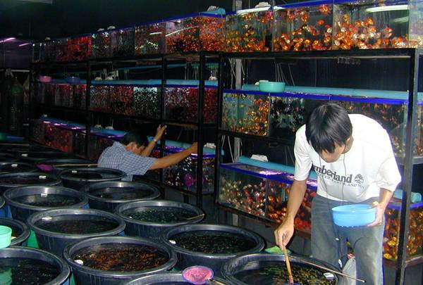 Mặc dù mở cửa hàng ngày nhưng chợ cá Chatuchak nhộn nhịp nhất vào buổi sáng thứ 5. Người bán cá giống, nông dân và người chơi cá sẽ tụ tập về đây để mua bán buôn. Ảnh: Digital Journal.