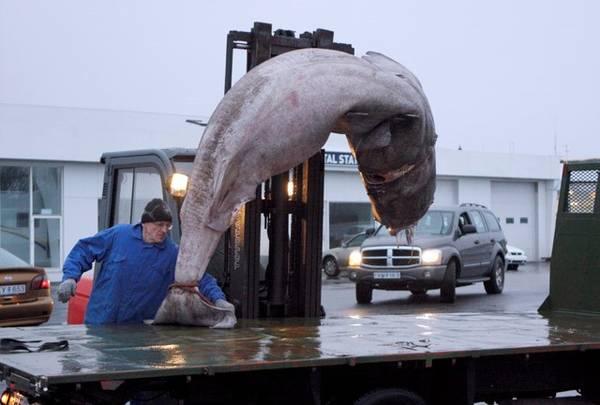 Thành phần chính của món hakarl là cá mập Greenland, loài cá có độc. Cá mập được làm sạch và chặt bỏ đầu. Sau đó, để loại bỏ các chất độc như oxit trimethylamine và axit uric, người dân chôn con cá mập dưới đất từ 6-12 tuần cùng đá, cát, sỏi. Những hòn đá to được đặt lên phía trên để tạo sức nặng, ép các chất lỏng chảy ra. Trong quãng thời gian này, cá cũng được lên men. Ảnh: VF - Myndir.