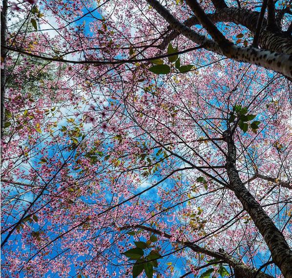Đến Đà Lạt vào tháng 1 nếu may mắn bạn có thể ngắm hoa mai anh đào nở. Ảnh: sonytrami