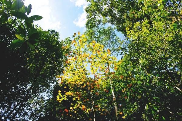 Sau khi thuyền cập bờ, bạn sẽ men theo đường mòn vào khu rừng, được hướng dẫn viên bản địa chỉ những nơi có cây phong. Lá phong ngả màu vàng hoặc đỏ vào thời điểm tháng 10, 11 và duy trì đến giữa tháng 12.
