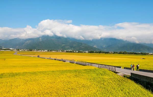 Đến Đài Trung, bạn chắc chắn không nên bỏ qua con đường lúa vàng nổi tiếng bậc nhất tại đây. Con đường mang tên Brown Road, nằm uốn lượn giữa cánh đồng. Vào mùa lúa chín, bạn sẽ được đi giữa thảm lúa vàng rực rỡ, chẳng khác gì đi giữa một vườn hoa khổng lồ.