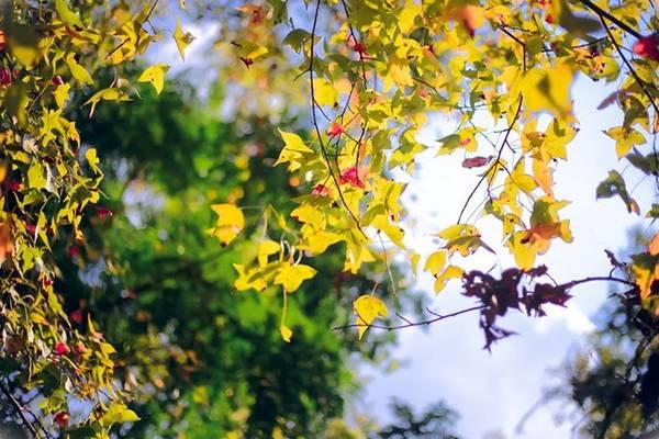 Rừng phong chỉ có ở xứ lạnh, nhưng thiên nhiên đã ưu đãi cho nơi đây cảnh quan tuyệt đẹp này. Lá đổi màu theo mùa. Lá phong xanh xum xuê vào mùa hạ và ngả dần màu vàng, đỏ thẫm rồi rụng xuống vào mùa đông. Ảnh: Chuồn chuồn Kym.