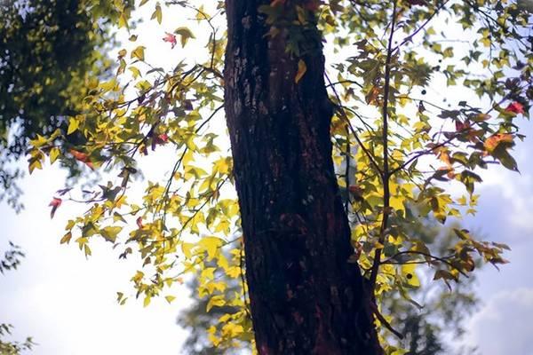 Lá phong rực rỡ sắc màu dưới ánh nắng dịu dàng của mùa đông. Ảnh: Chuồn chuồn Kym.