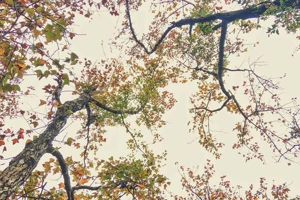Du khách đứng trước cảnh sắc tươi đẹp này sẽ có cảm giác vui sướng trước sự vươn mình xanh tốt của những cây phong già cổ thụ. Ảnh: Vô Diện.
