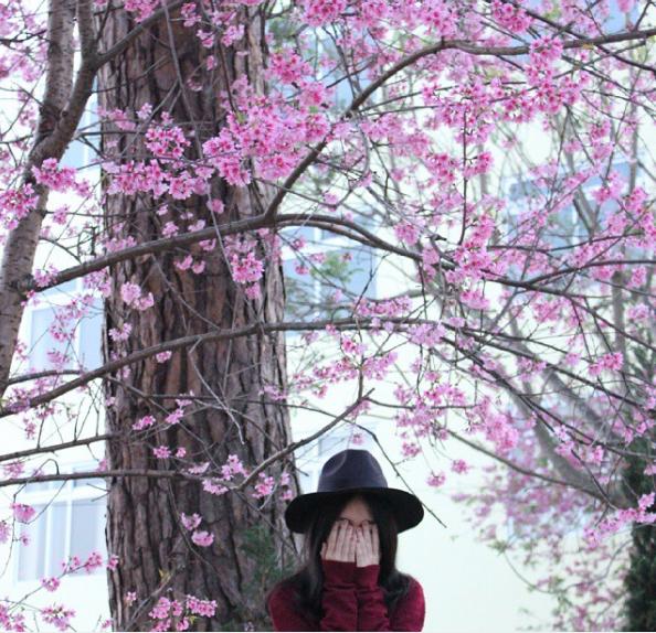 Lễ hội hoa mai anh đào 2017 sẽ được tổ chức tại Đà Lạt