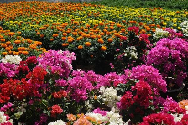 Các loại hoa đua nhau khoe sắc. Ảnh: Trịnh Thanh Tùng