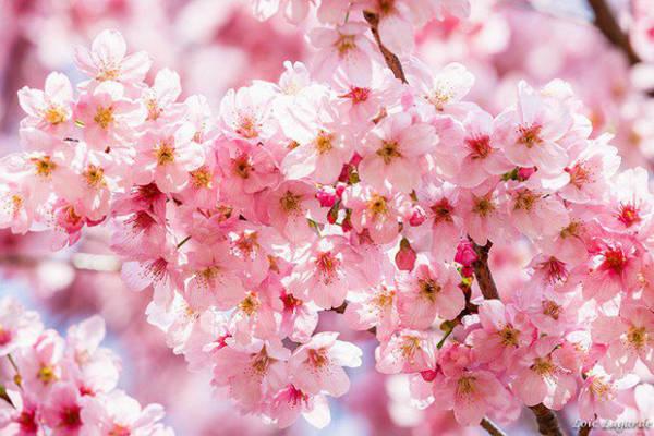 Hoa anh đào vào mùa xuân Mùa hoa anh đào ở Nhật Bản hàng năm cũng là lý do thu hút du khách tới đây. Khoảng tháng 4, 5 khắp những con đường ở Nhật sẽ được phủ một màu hồng thơ mộng của hoa anh đào, còn người dân và du khách sẽ tổ chức dã ngoại ngắm hoa, tiệc ngoài trời...