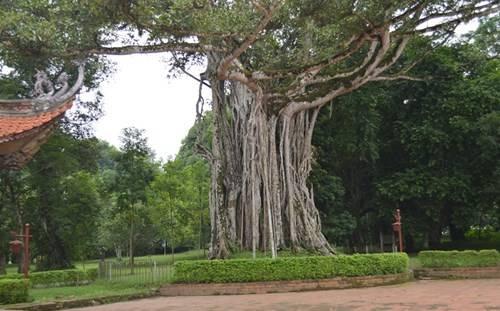 """""""Cây đa ôm cây thị"""" ở Khu di tích Lam Kinh (Ảnh: Thùy Linh)"""