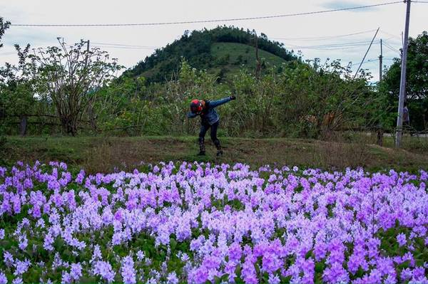 Sắc tím của hoa lục bình dưới chân đèo Đại Ninh. Ảnh: Hiếu Dương.