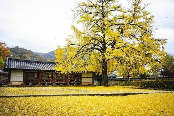 Jeonju nổi tiếng với những hàng cây ngân hạnh hàng trăm tuổi chuyển màu vàng rực khi sang thu. Đây cũng là mùa du lịch cao điểm của Jeonju, khi hàng ngàn du khách quyết tâm vượt đường xa để ngắm lá vàng rơi phủ đầy sân, hay đồi núi rực rỡ sắc thu cạnh hồ nước đẹp như tranh thủy mặc. Ảnh: naver.