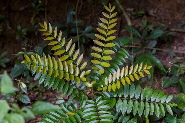 Anh bạn chung đoàn là một tay đi rừng thứ thiệt, có thể kể tên rất nhiều loại động thực vật, kể cả các loại quý hiếm có trong Sách Đỏ Việt Nam. Hơn một giờ trong rừng còn giá trị hơn nhiều những giờ học sinh học đậm chất lý thuyết. Trong ảnh là cây sâm alipas.